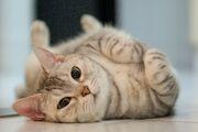 Cat-rolling-GettyImages-165893132-58ac5ef05f9b58a3c90a144f