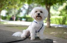 Maltesedogbreed