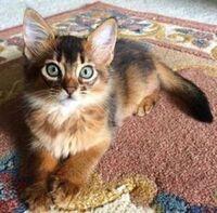 Dce493c0e461eb06f26ffb61b685f56d--ragdoll-kittens-cute-kittens