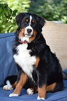 170px-Bernese Mountain Dog - 9 months