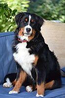 170px-Bernese Mountain Dog - 9 months