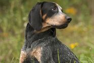 Bluetick-Coonhound-470770199-resized-56a26ab35f9b58b7d0ca0085