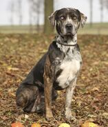 6-101330-catahoula-leopard-dog-look-1430524164