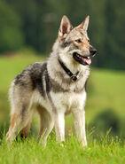 Czech-wolfdog
