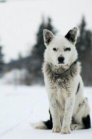 B0cf15183e6f41f7bef8bbde311ec5ba--husky-wolf-mix-mutt-dog