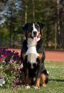 370a8397ff51c1cca3023dd347d8d266--appenzeller-dog-appenzeller-sennenhund