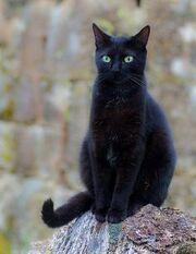 611f6e0e230e48c010a37daf97a1fb4b--big-cats-black-cats