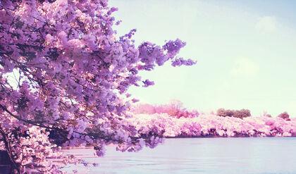 Sakura cherry blossom by roysumit1309-d5xhu7p