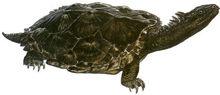Proganochelys quenstedti
