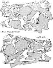Oviraptor skull