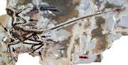 Microraptor gui holotype