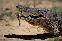 10-Mother-Crocodile-Handles-Her-Baby-Carefully