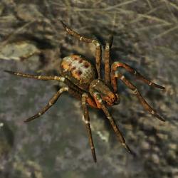 SOTTR Spider