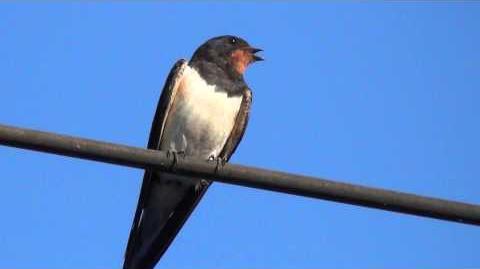 Птицы Ласточки-0