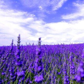 &gt;&gt;<b>The Lavender Field</b>&lt;&lt;