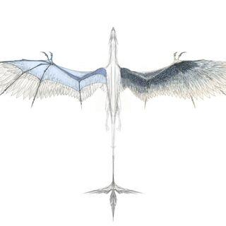 Размах крыла остроклюва