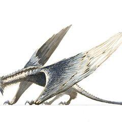 A Silverwing Raptor