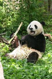 Giant Panda Bear (Ailuropoda melanoleuca) Tian Tian