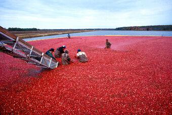 Cranberrys beim Ernten