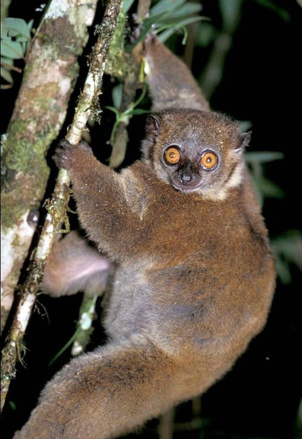Small-toothed sportive lemur   Lemur and Bushbaby Wiki ...