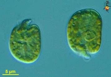 Amphidinium operculatum 001