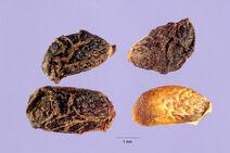 Rubus ulmifolius 002