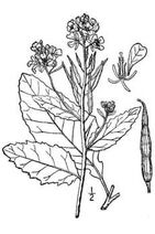Sinapis arvensis 004