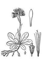 Antennaria neglecta 001