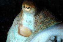Octopus vulgaris 002