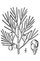 Juniperus horizontalis 001