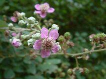 Rubus ulmifolius 001