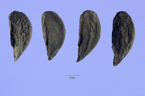 Allium paniculatum 001