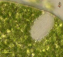 Euglena ehrenbergii 002