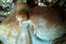 Octopus vulgaris 003