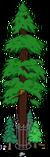 Plus gros séquoia du monde 9