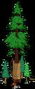 Plus gros séquoia du monde 7