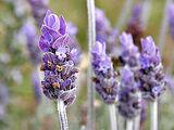 Lavender (color)
