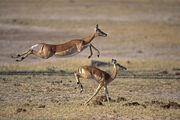 Impala-saut