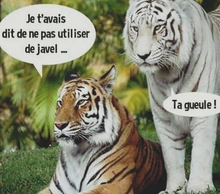 Image tigre blanc javel gueule humour wiki la guerre des clans fandom powered - Photo de tigre blanc a imprimer ...