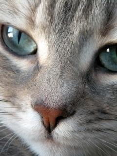 Image chat gris yeux wiki la guerre des clans fandom powered by wikia - Yeux gris bleu ...