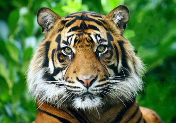 Image tigre sumatracc01 1 jpg wiki la guerre des clans fandom powered by wikia - Image dessin tigre ...
