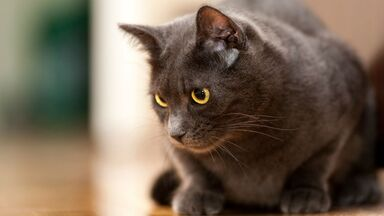 Le-chartreux-un-chat-discret (1)