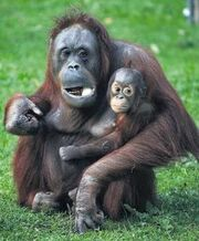 Apes(1)