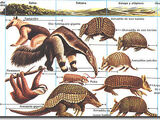 Xenarthra (Taxonomy)