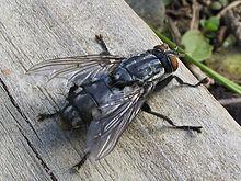 220px-Diptera 01gg