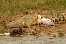 250px-Yellow-billed stork kazinga