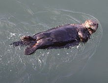220px-Sea Otter kuchang kushiro hokkaido