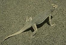 220px-Coachella Valley Fringe-toed Lizard