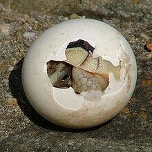 250px-Tortoise-Hatchling