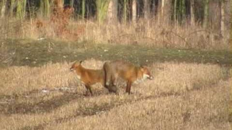 Foxes mating.